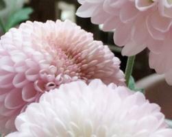 等一个秋天都没开花,冬天竟然开了,秋菊变成了冬菊?