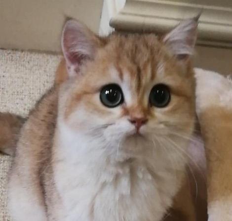 秀秀我家的小猫咪,没养猫之前完全想不到猫有多可爱!