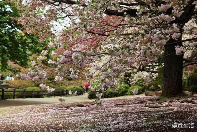 霓虹国樱花祭近在眼前,今年日本赏樱攻略在这里了哦!