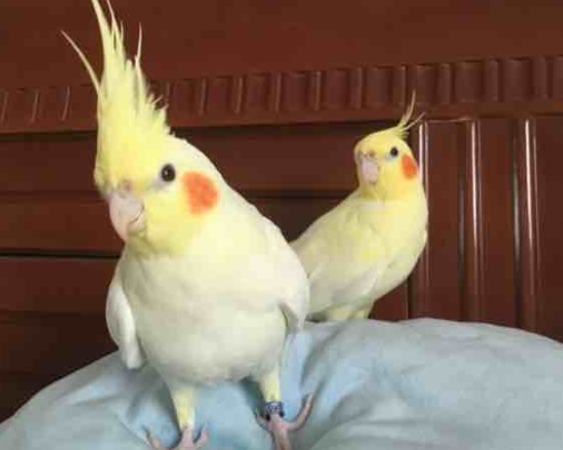 我家里有只鸚鵡,長得也太像比卡丘啦!超萌有木有?