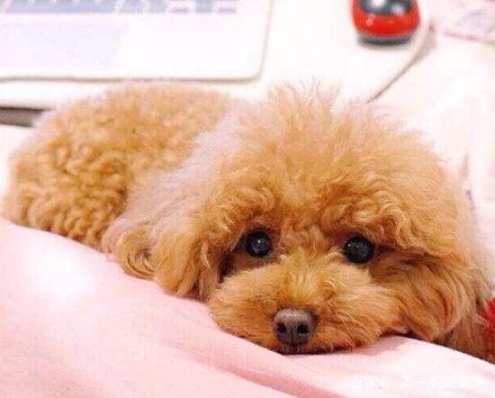 免费领养!捡到的泰迪找了几天都找不到主人,小体一岁左右,望爱狗人士领养!