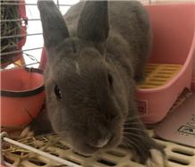 超可愛的迷你兔免費領養啦!灰色頭頂有月牙狀白毛點綴,是個很乖的小兔子!