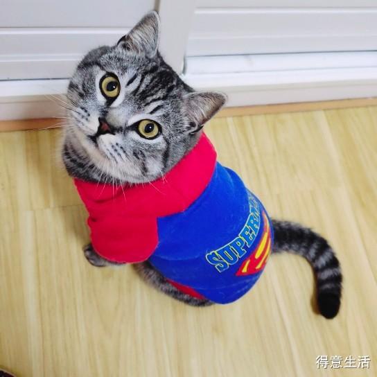 养只高冷又肥萌的猫是怎样一种感受?疫情期间全靠它陪我!