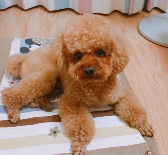 6岁泰迪免费送养,性格活波可爱,有爱心不随意转送转卖,狗贩勿扰!
