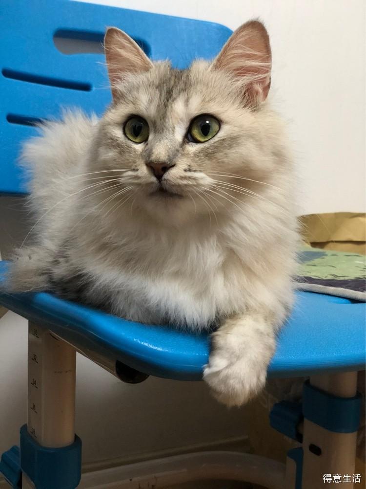 我家的金吉拉母猫发情了,茶饭不思,要不要给她找男朋友啊!