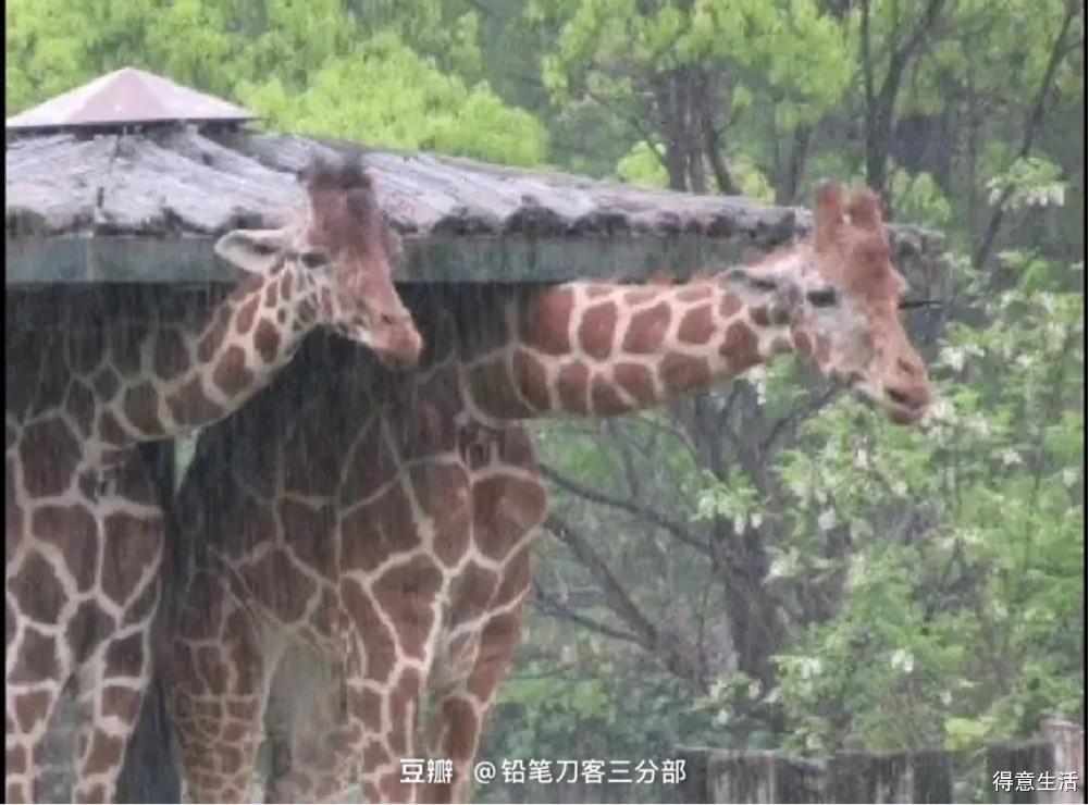 长颈鹿除了不会吐,原来还躲不了雨,原因更是令人惊叹!