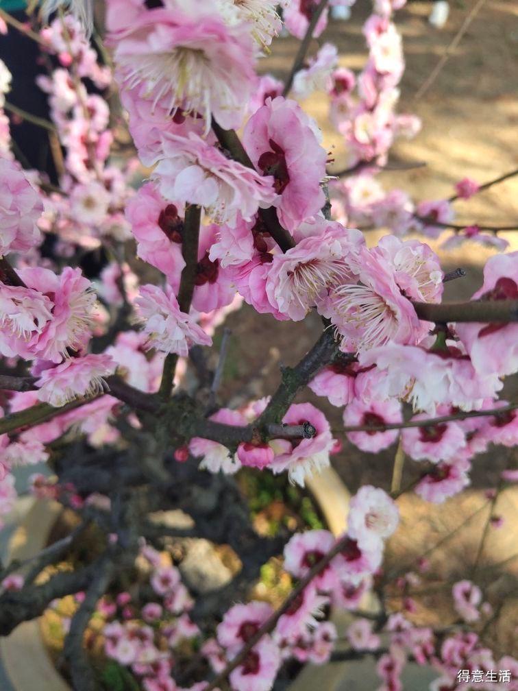 阳光艳丽岁月静好,闲庭信步来梅园享受花瓣雨的洗礼!